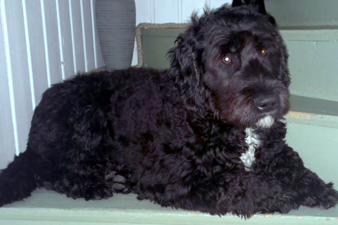 Barbet Dog Breed Picture