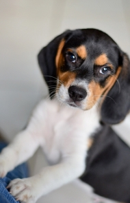 Cool Small Leg Beagle Adorable Dog - thumbs_3-puppy  Gallery_6110067  .jpg