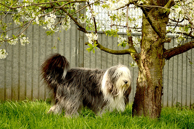 Bearded collie best in show 3