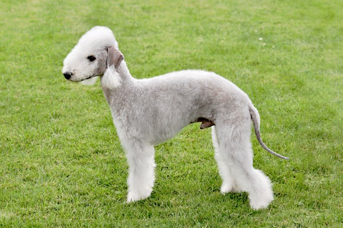 Bedlington Terrier Dog Breed Information, Pictures, Characteristics