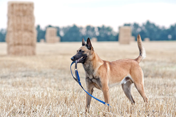Belgian Malinois Dog Breed Information Pictures Characteristics