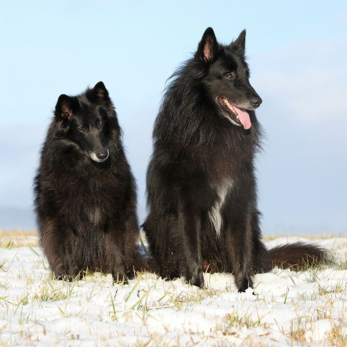 Belgian Sheepdog Dog Breed Picture