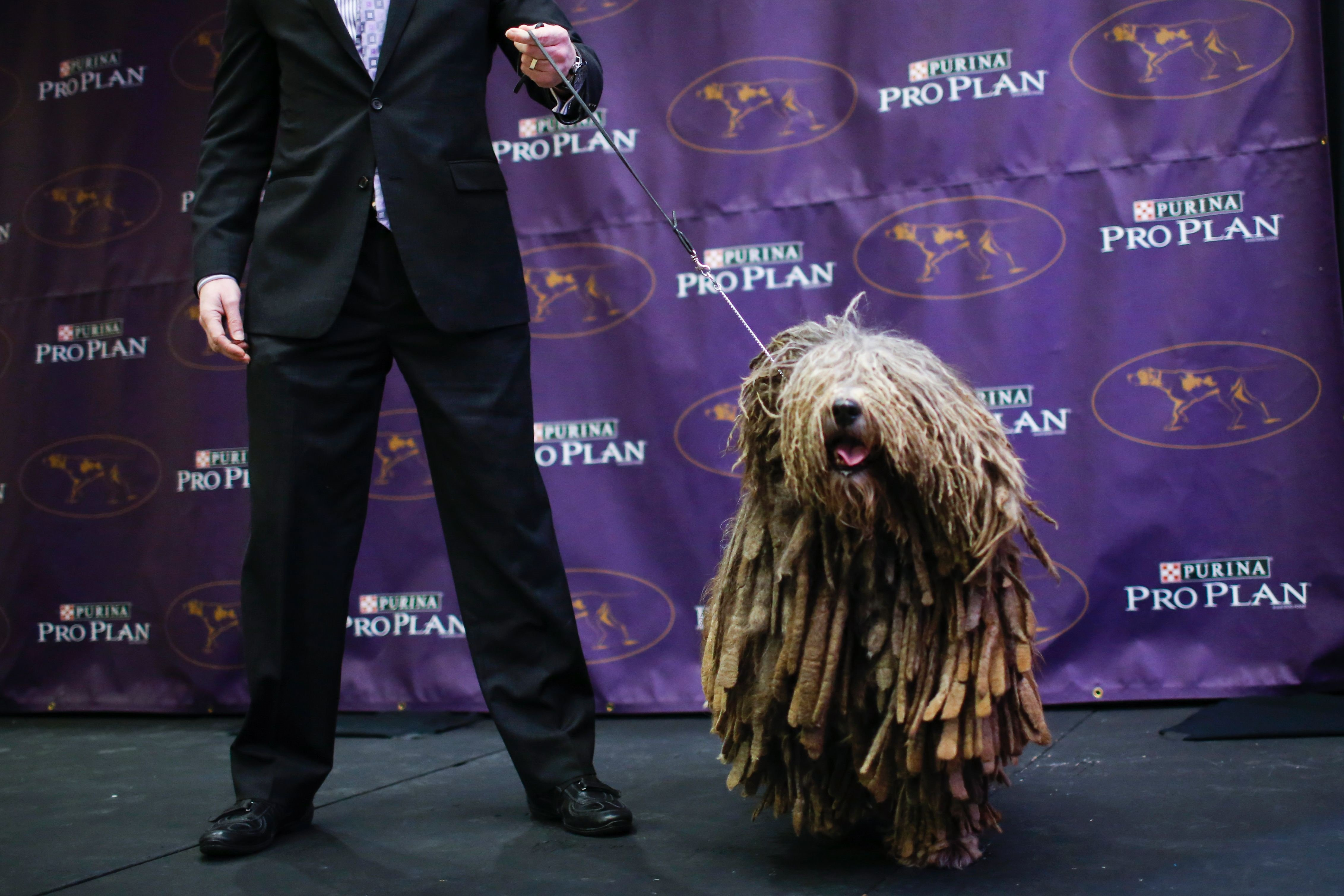 Bergamasco Sheepdog Breed Pictures