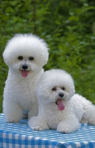 Image result for bichon frise dogs images