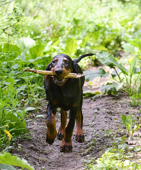 Black And Tan Coonhound Dog Breed Picture