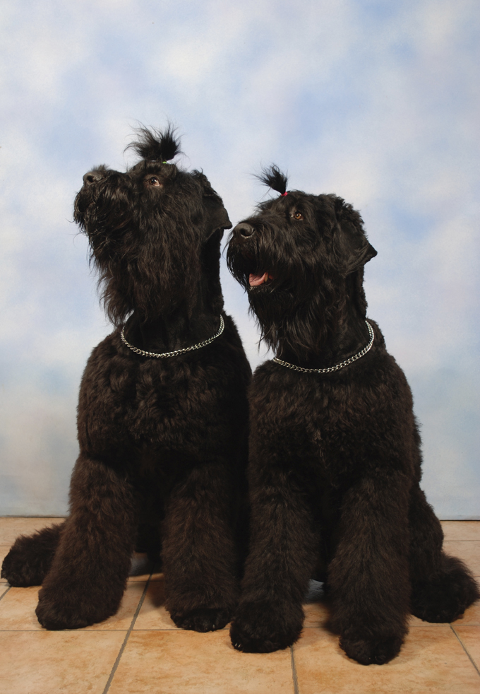 Black Russian Terrier Dog Breed Information Pictures