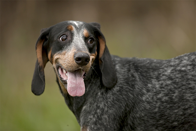 Bluetick Coonhound Dog Breed Information, Pictures ...