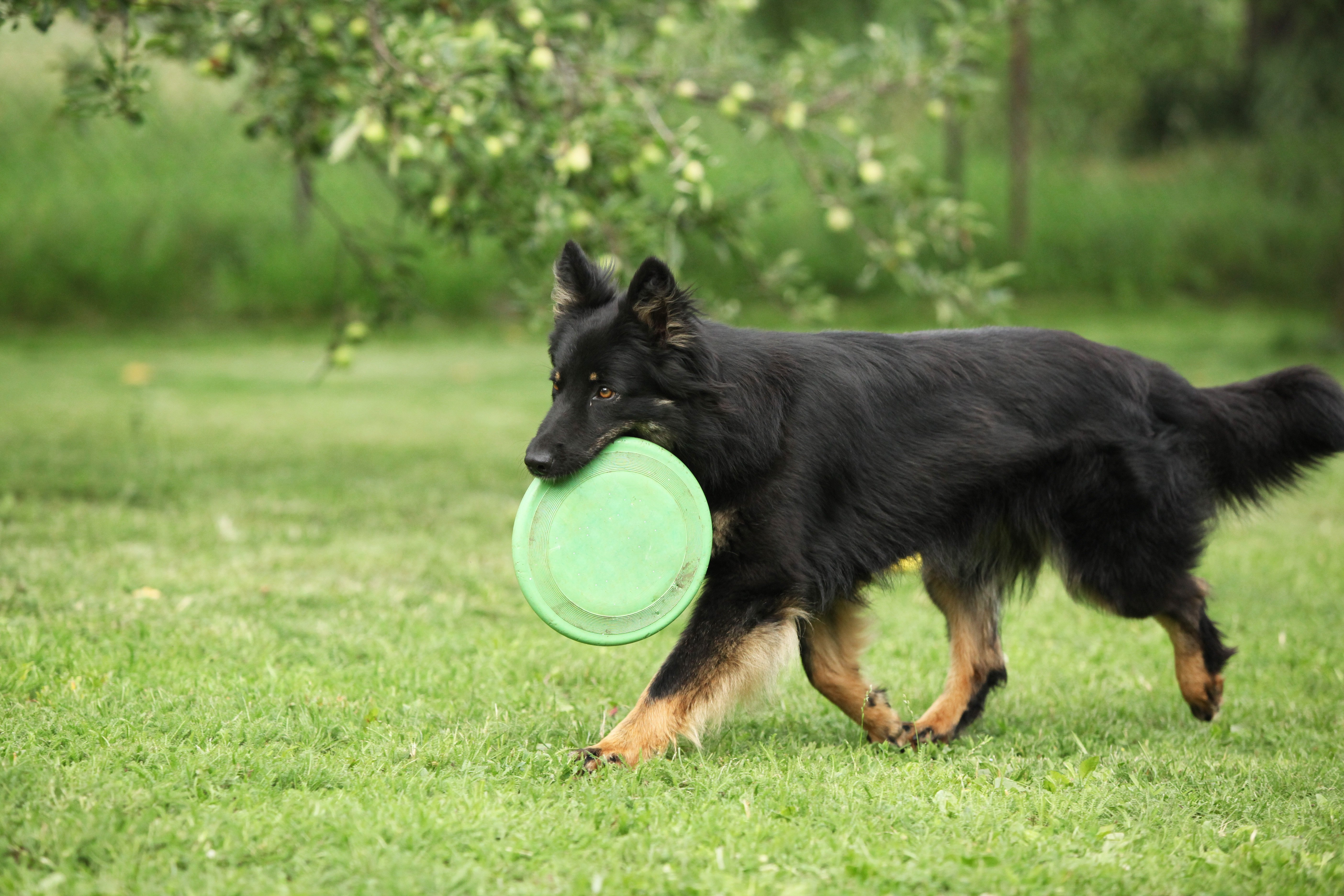 Bohemian Shepherd Dog Breed Pictures