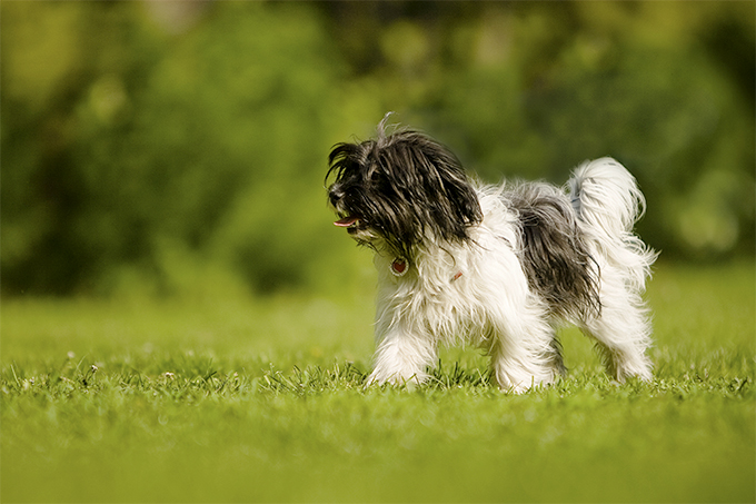 Bolognese Dog Breed Picture