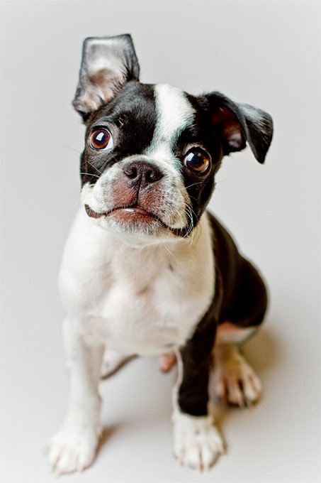 Boston Terrier Dog Breed Information Pictures Characteristics