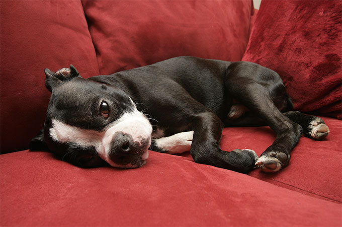 Boston Terrier Dog Breed Picture