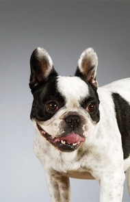 ... Boston Terrier Dog Breed Picture ...
