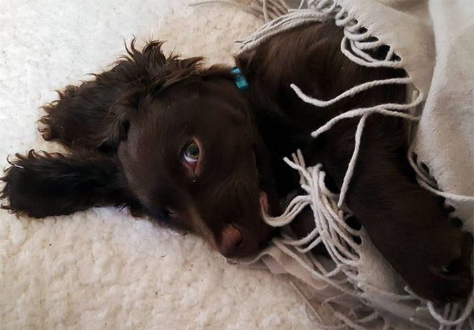 boykin spaniel dog breed information pictures characteristics