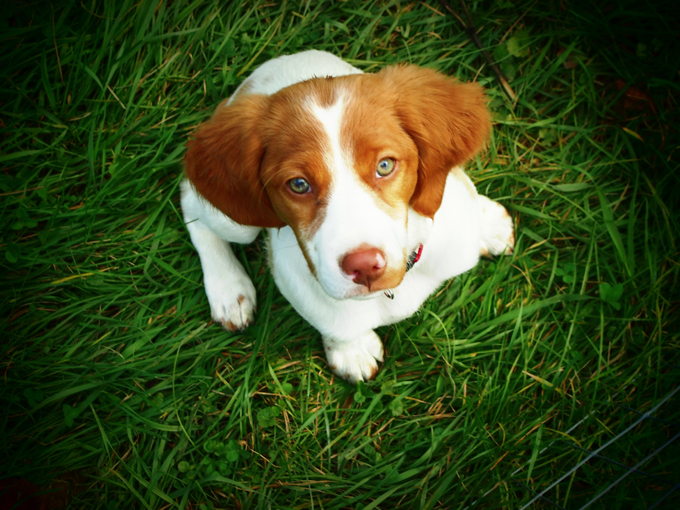 Brittany Dog Breed Information Pictures Characteristics