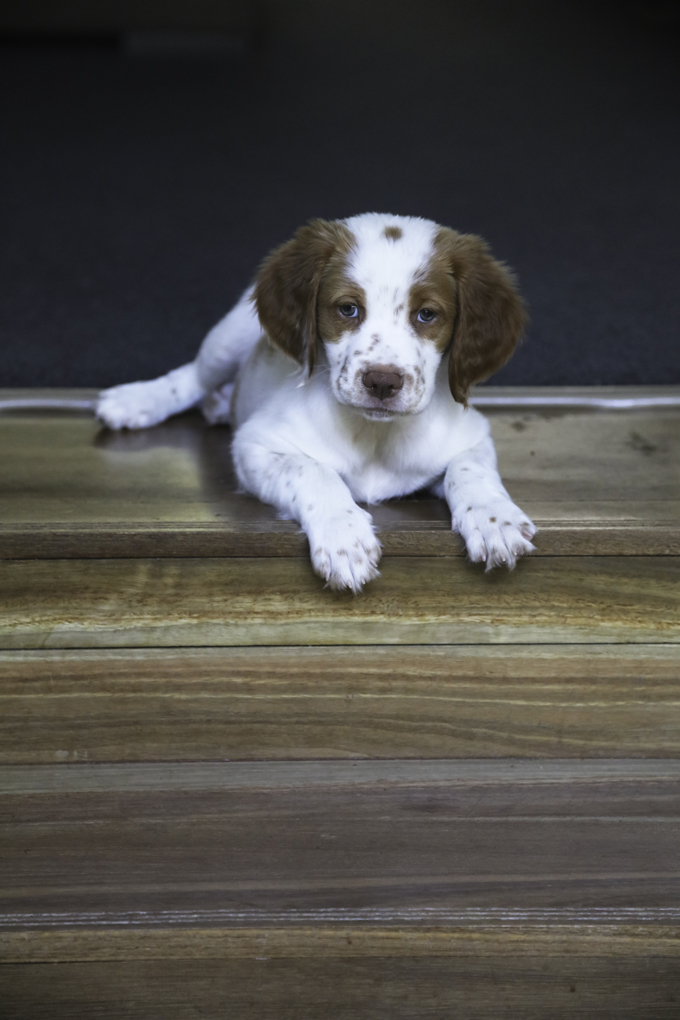 Brittany Dog Breed Information Pictures Characteristics Facts