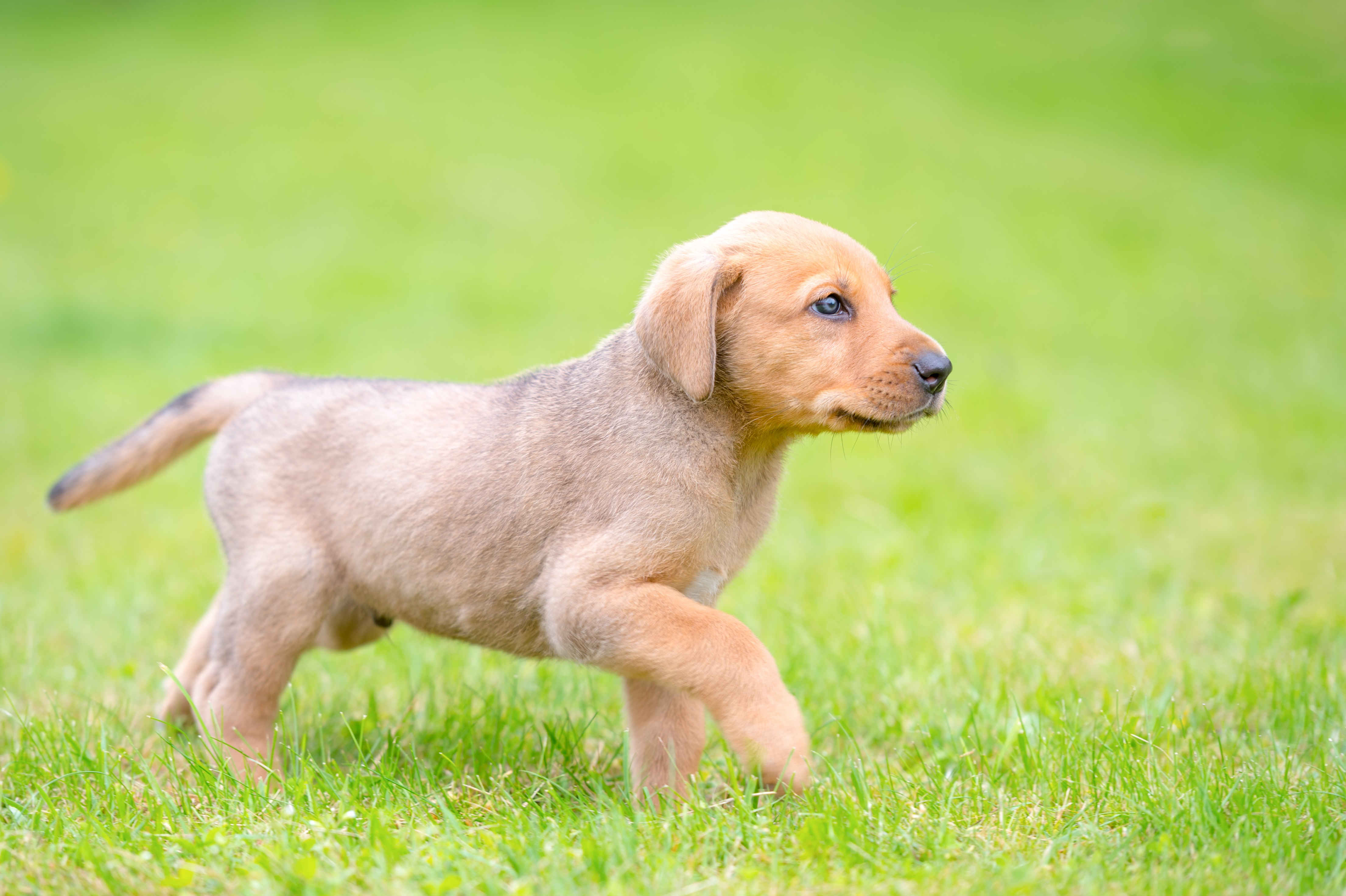 Broholmer Dog Breed Pictures
