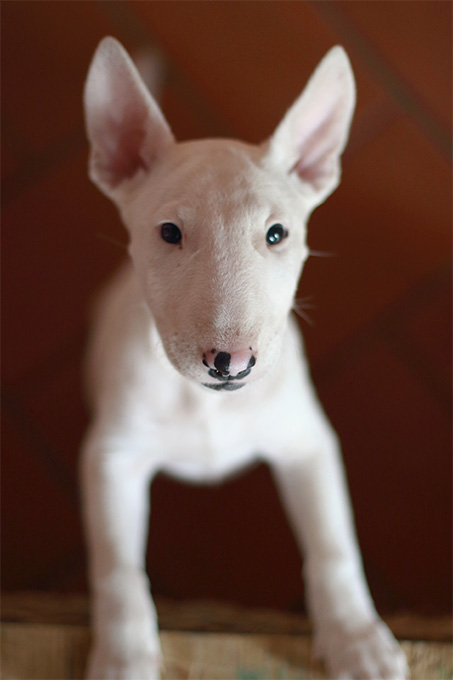 bull terrier dog breed information pictures characteristics