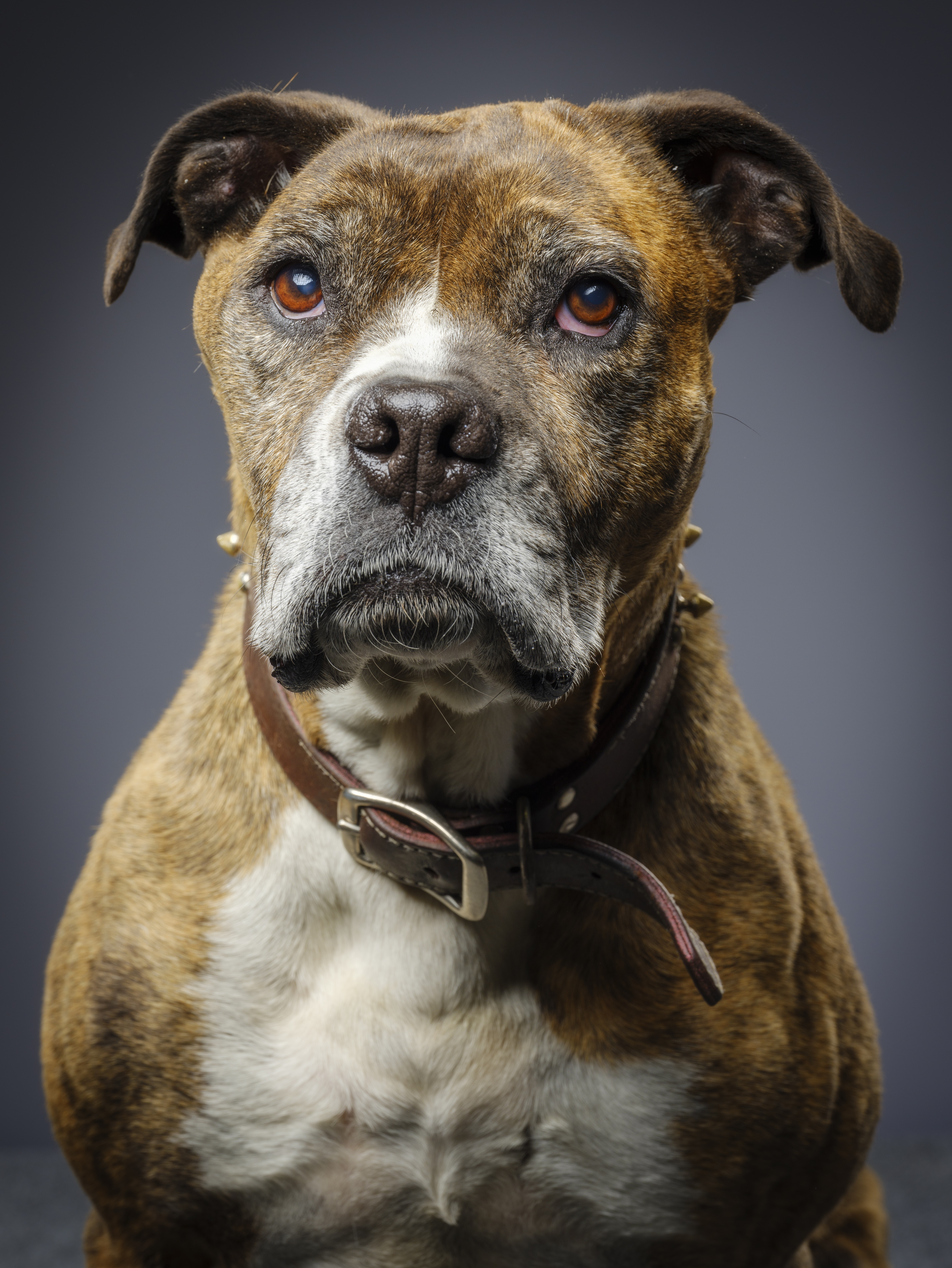 Bullboxer Pit Mixed Dog Breed Pictures
