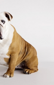 Bulldog Dog Breed Information Pictures Characteristics Facts