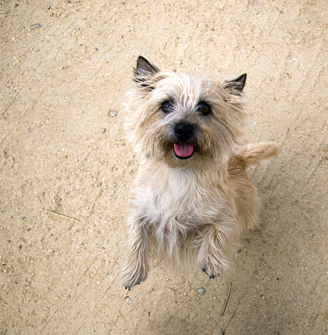 Cairn Terrier Dog Breed Information, Pictures