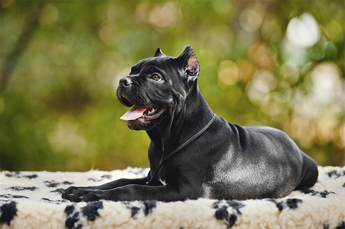 Cane Corso Dog Breed Information, Pictures, Characteristics