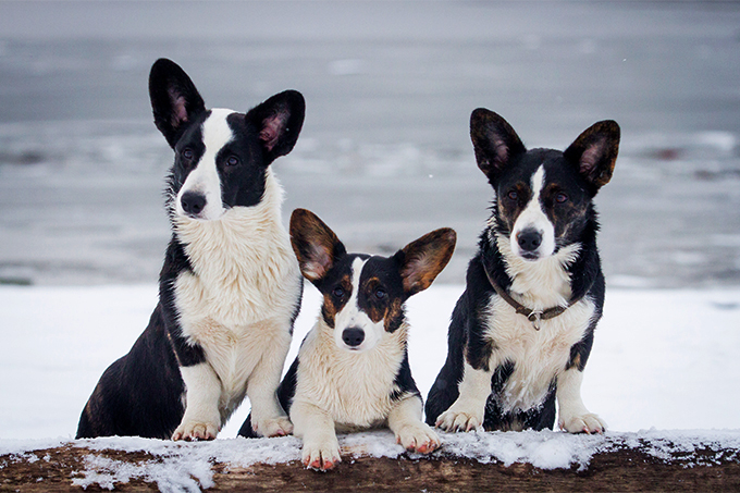 Cardigan Welsh Corgi Dog Breed Information Pictures