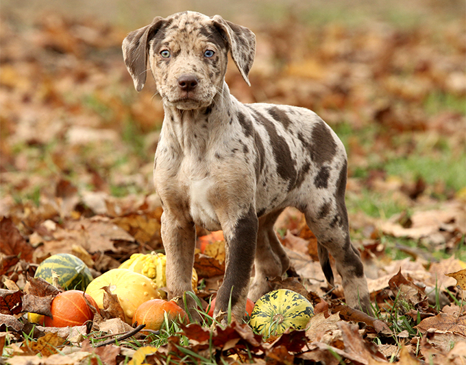 Catahoula Cow Dog Breed