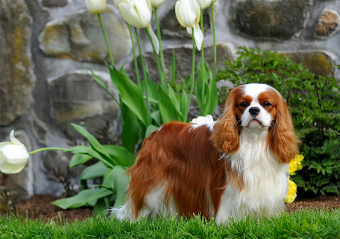 Cavalier king charles spaniel dog breed information pictures cavalier king charles spaniel thecheapjerseys Images