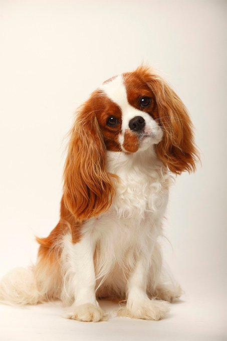 cavalier king charles spaniel dog breed information pictures