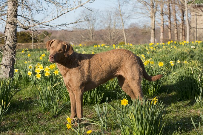 Chesapeake Dogs And Puppies