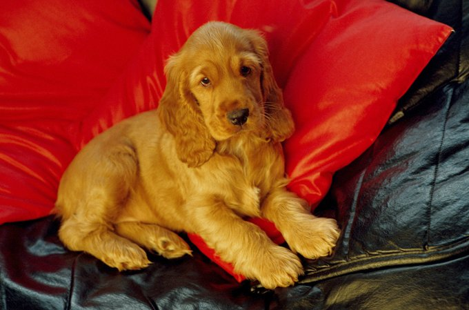 Cocker Spaniel Dog Breed Information, Pictures