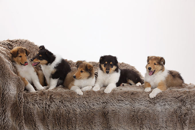 Collie Dog Breed Picture
