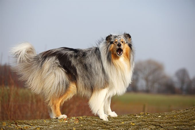 Collie dog breed information pictures characteristics for Different types of puppies breeds