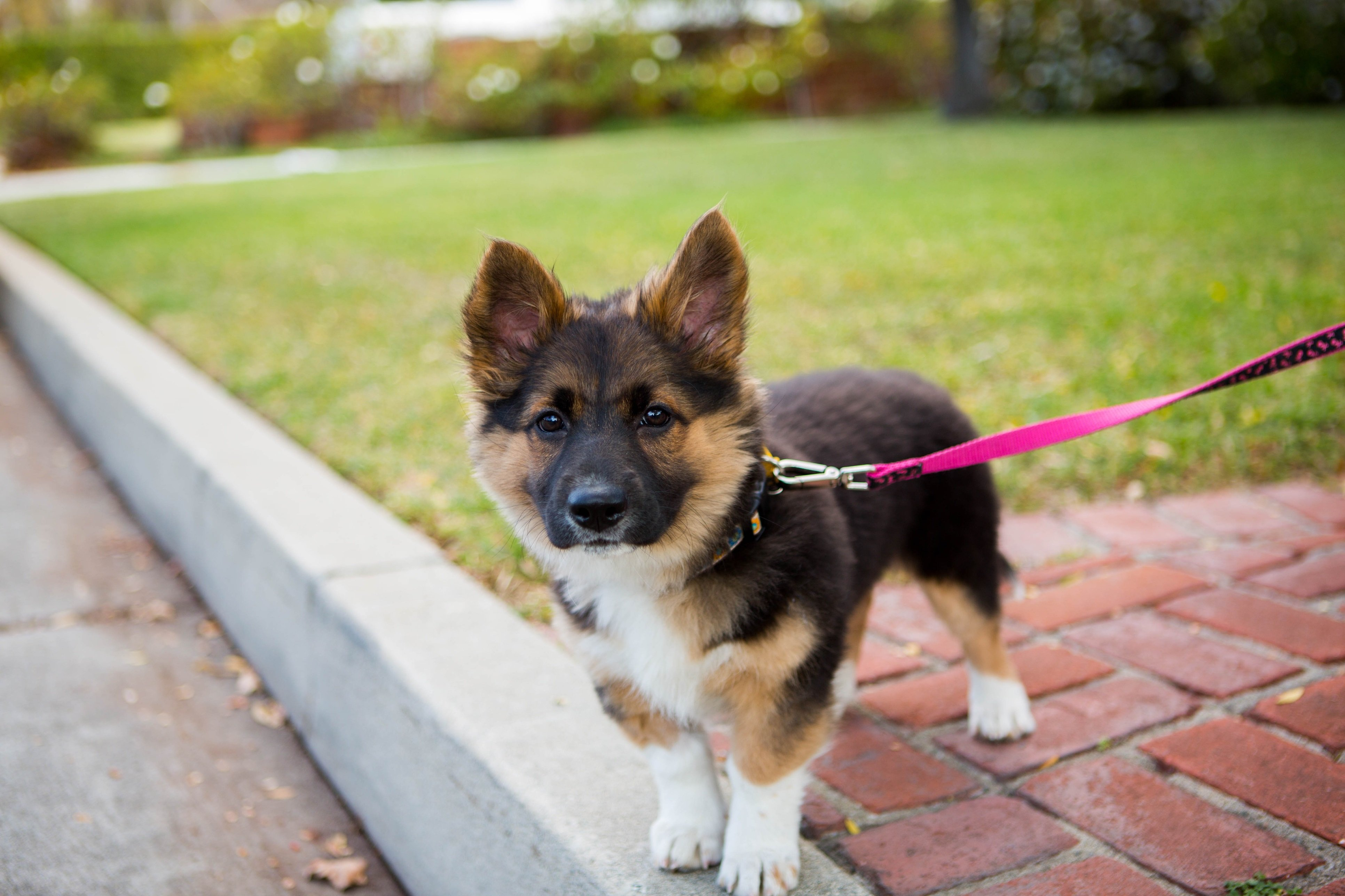 Corman Shepherd Mixed Dog Breed Pictures