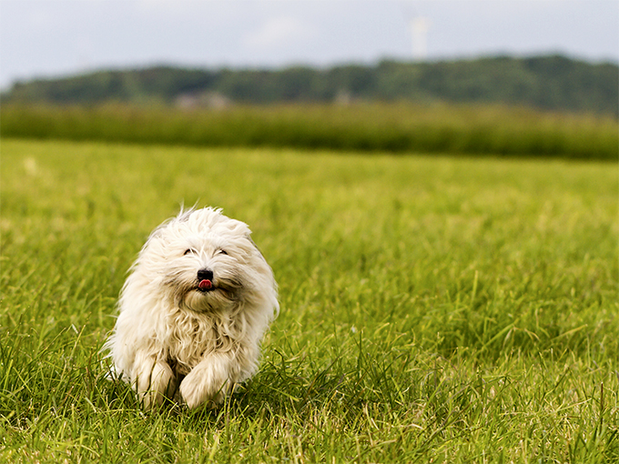 Coton De Tulear Dog Breed Picture