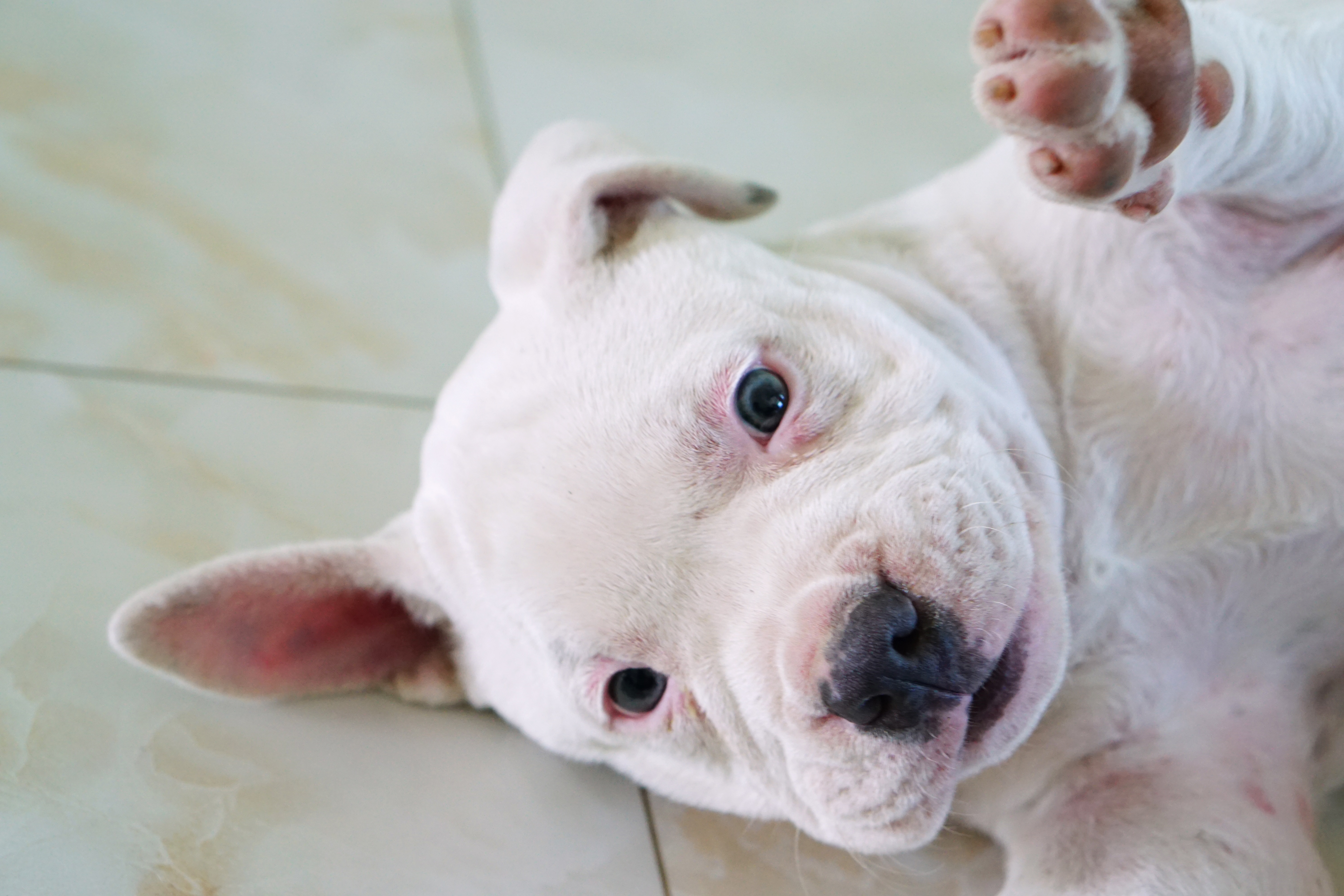 Pit Bull Puppies Facts And Cute Pictures Dogtime
