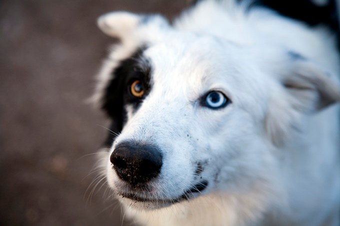 Blue Colour In Dogs Eyes