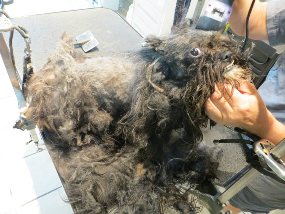 Rescued dog transforms after 2 pounds of matted fur shaved ... American Water Spaniel Dogtime