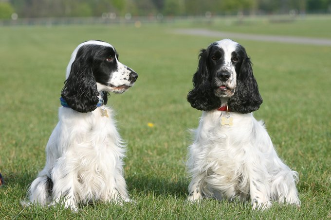 English Cocker Spaniel Dogs And Puppies