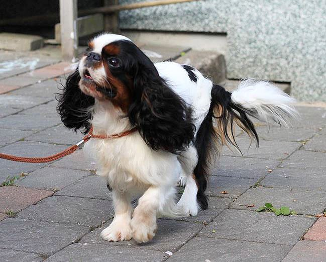 English Toy Spaniel Dog Breed Picture