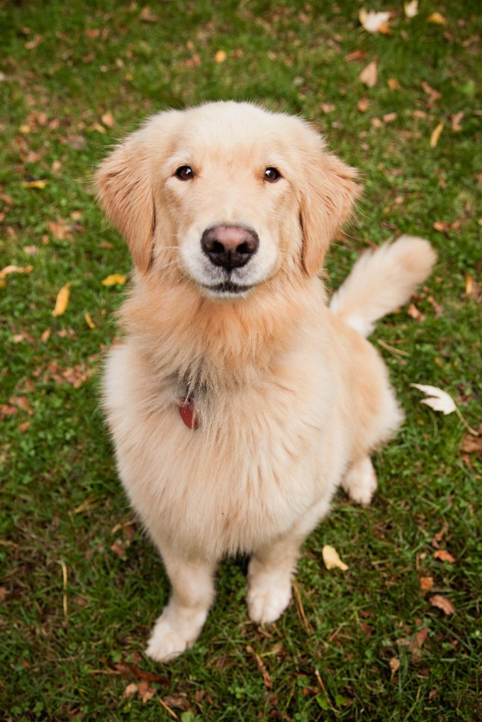 Small Dogs That Look Like Golden Retrievers