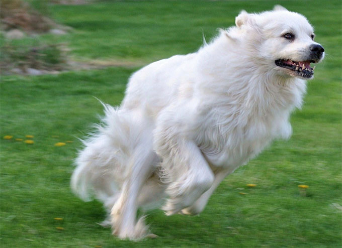 Great Pyrenees Dog Breed Information, Pictures, Characteristics ...