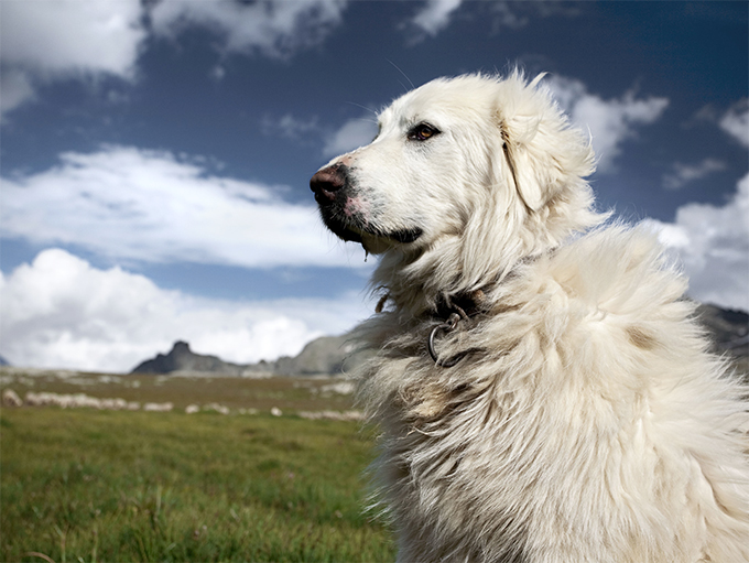 Great Pyrenees Dog Breed Information, Pictures, Characteristics  Facts – Dogtime
