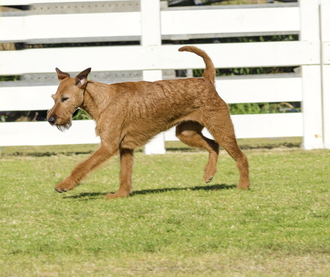 Irish Terrier Dogs And Puppies