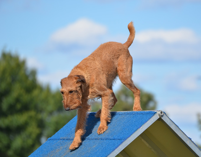 Irish Terrier Dog Breed Information Pictures Characteristics