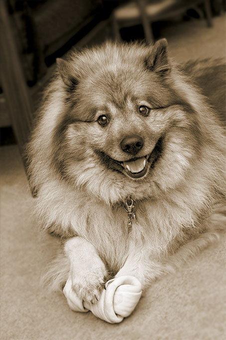 Keeshond Dog Breed Information Pictures Characteristics