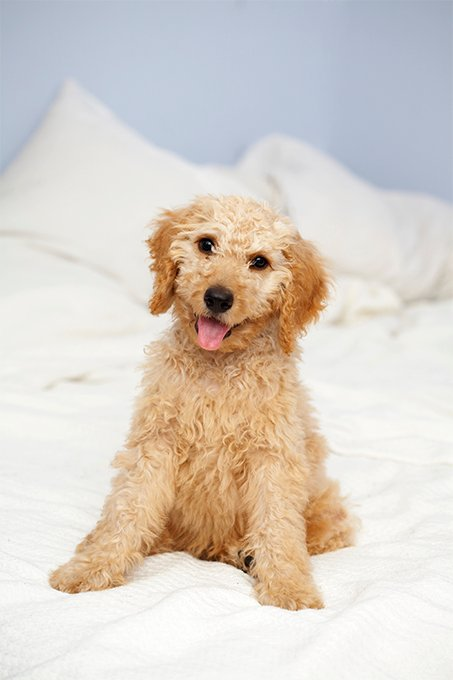 Dogs that look like poodles