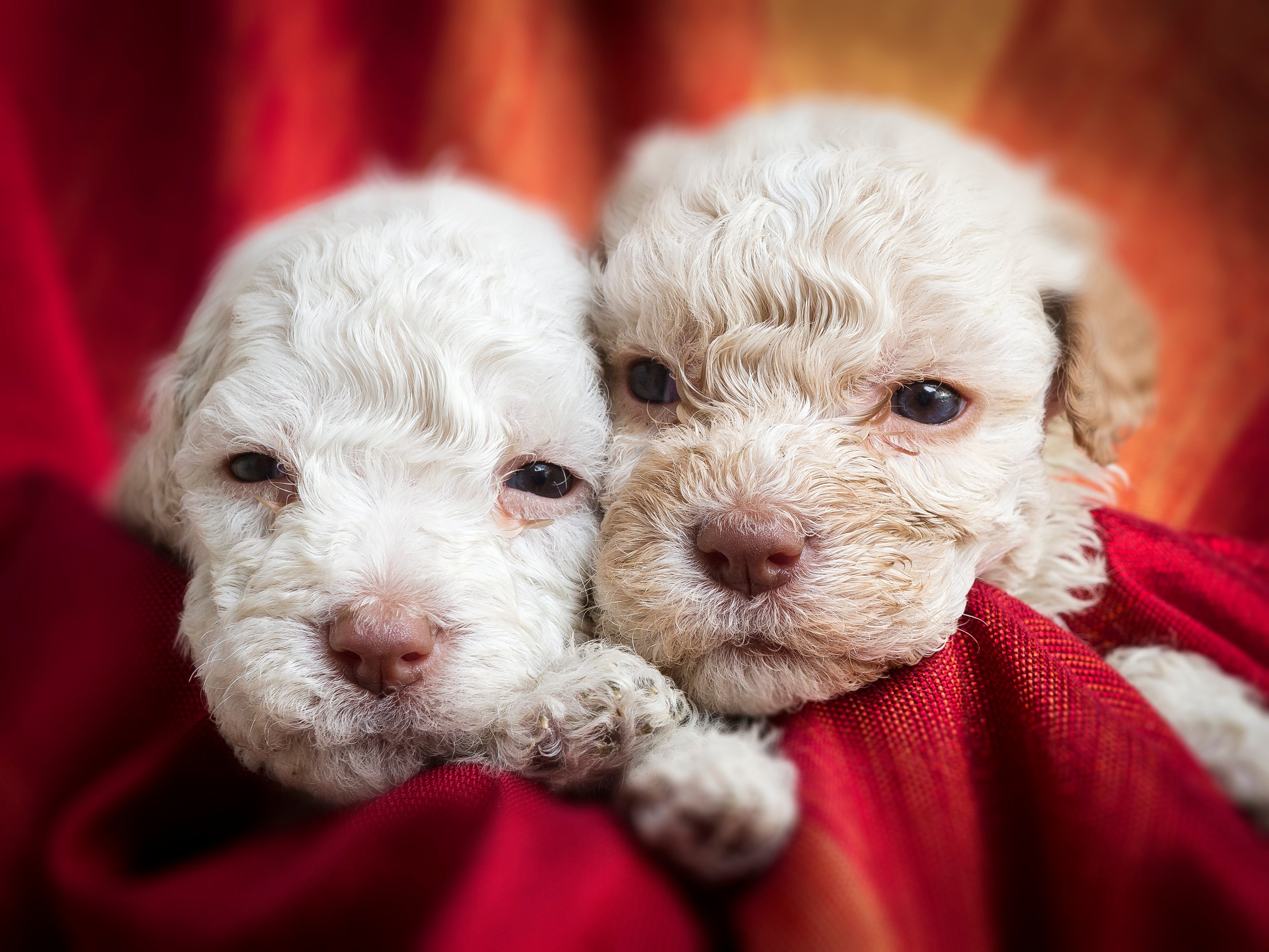 Lagotto Romagnolo Dog Breed Pictures