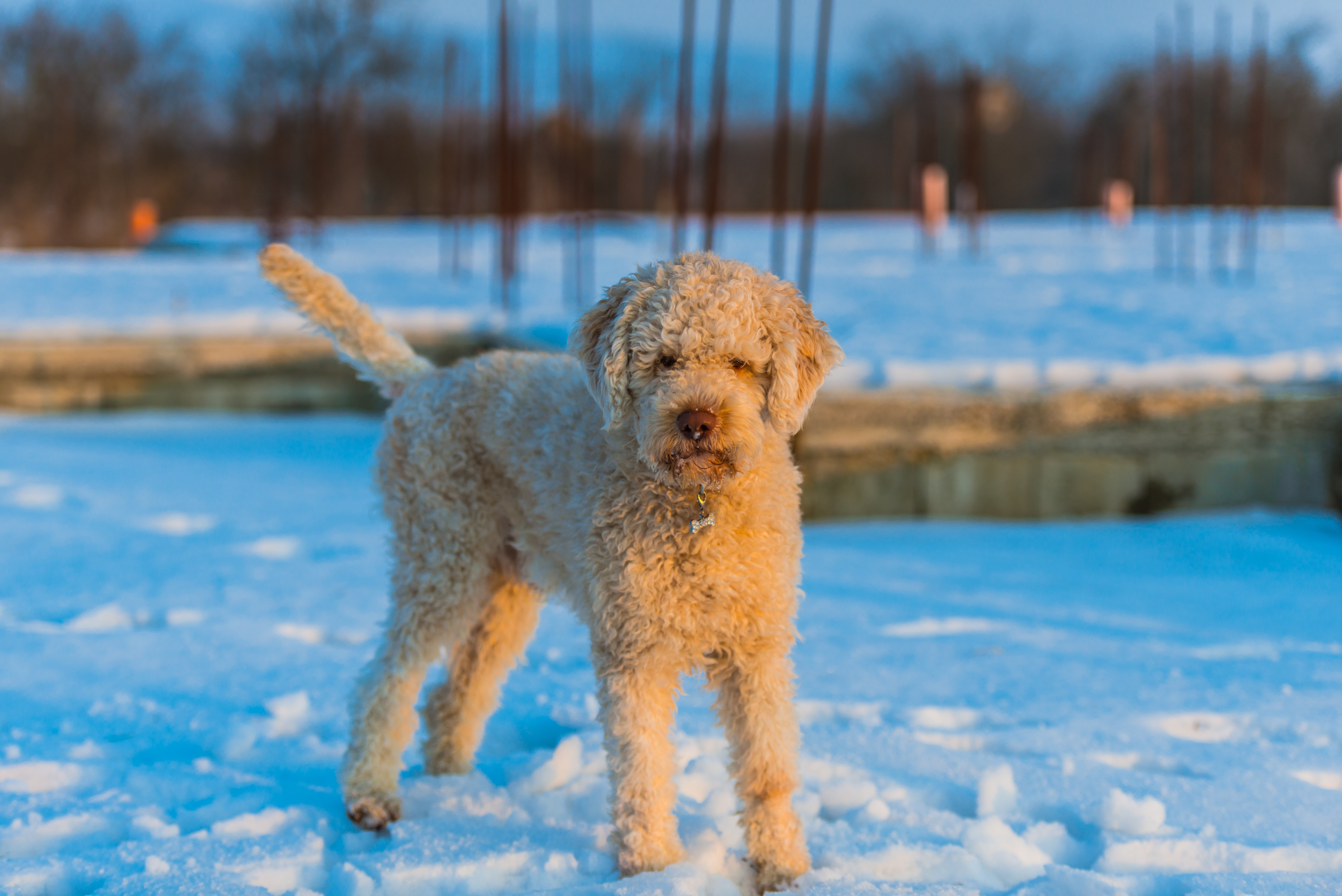 Lagotto Romagnolo Dog Breed Information & Pictures – Dogtime