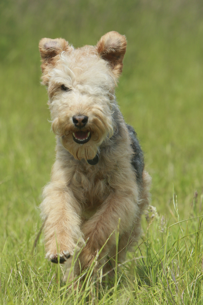Lakeland Terrier Dog Breed Information Pictures Characteristics